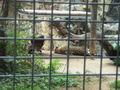 HK Zoo NB Gdns - Jaguar.jpg