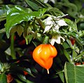 Habanero chile - flower with fruit (aka).jpg