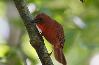 Red-throated ant tanager species of bird