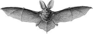 Brown long-eared bat - Image: Haeckel Chiroptera Plecotus auritus 1
