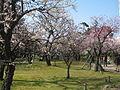 Hakusan Park Prunus mume2.JPG