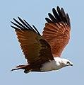 Haliastur indus -Karratha, Pilbara, Western Australia, Australia -flying-8 (14).jpg