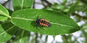 Harmonia axyridis - Larva on leaf.jpg