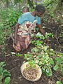 Harvesting wild Dioscorea (4762926732).jpg