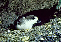 Hawaiian Petrel Pterodroma sandwichensis