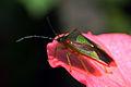 Hawthorn shield bug acanthosoma haemorrhoidale.jpg
