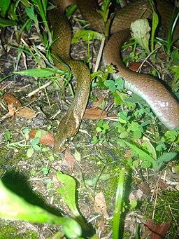 Hebius vibakari vibakari in Ochiai Park - 1