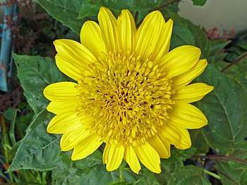 Helianthus decapetalus 'Plenus'