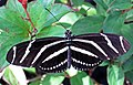 Heliconius charitonius (zebra longwing butterfly) (Florida, USA) 4 (17258404882).jpg