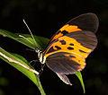 Heliconius numata bicoloratus (14863851469).jpg