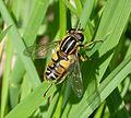 Helophilus pendulus - Flickr - gailhampshire (1).jpg