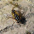Helophilus pendulus - Flickr - gailhampshire (2).jpg