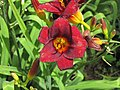 Hemerocallis sp. (day lily) (south of Sioux City, Iowa, USA) (28356855455).jpg