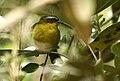 Hemispingus superciliaris -Ecuador-8.jpg