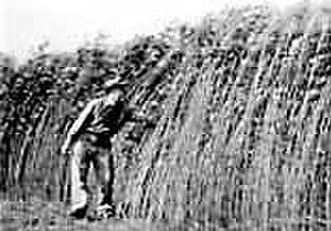 Hemp for Victory - Image: Hemp farm