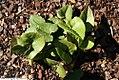 Hexastylis arifolia 1zz.jpg