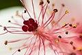 Hibiscus Up Close - Flickr - puliarf.jpg