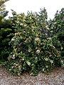 Hibiscus insularis 2.jpg