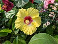 Hibiscus rosa-sinensis 77.jpg
