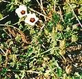 Hibiscus trionum.jpg