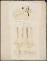 Hippopotamus amphibius - 1700-1880 - Print - Iconographia Zoologica - Special Collections University of Amsterdam - UBA01 IZ21900033.tif