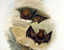 黃褐蹄蝠 (Hipposideros cervinus)