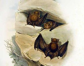 Description de l'image Hipposideros cervinus - Gould.jpg.