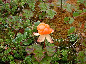 Kola Peninsula - Ripe cloudberry