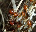 Hodotermes mossambicus, op droë gras, b, Voortrekkerbad.jpg