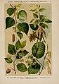 Hoffmann-Dennert botanischer Bilderatlas (Taf. 26) (6424994113).jpg