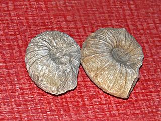 <i>Holcodiscus</i> genus of molluscs (fossil)