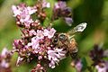 Honeybee Apis mellifera Gathering Nectar At RHS Wisley Surrey UK.jpg