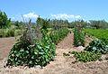 Hort amb tomaqueres a Novaliches.JPG