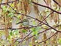Hume's Warbler (Phylloscopus humei) (35652872041).jpg