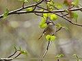 Hume's Warbler (Phylloscopus humei) (37502276294).jpg