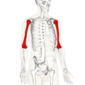 Humerus - lateral view2.png