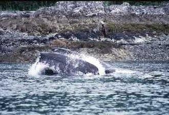 Glacier Bay Basin - A humpback whale in Glacier Bay