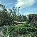 Hurricaneirmafallentree.jpg