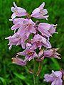 Hyacinthoides hispanica 002.JPG