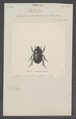 Hybalus - Print - Iconographia Zoologica - Special Collections University of Amsterdam - UBAINV0274 019 11 0002.tif