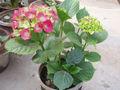 HydrangeaMacrophyllaVar.jpg