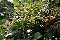 Hydrangea anomala petiolaris 6zz.jpg