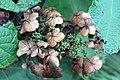 Hydrangea quercifolia Select Seedling 1zz.jpg