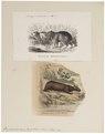 Hydrochoerus capybara - 1700-1880 - Print - Iconographia Zoologica - Special Collections University of Amsterdam - UBA01 IZ20600075.tif
