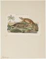 Hydromys leucogaster - 1700-1880 - Print - Iconographia Zoologica - Special Collections University of Amsterdam - UBA01 IZ20500191.tif