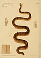 Hydrophis Robusta Poisonous snakes of India sketched by Joseph Ewart.jpg