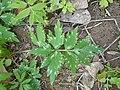 Hydrophyllum virginianum 2017-04-17 7890.jpg