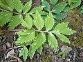 Hydrophyllum virginianum 2017-04-17 7893.jpg