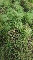 Hylocomium splendens and Rhytidiadelphus loreus.jpg
