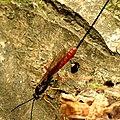 Ichneumon Wasp (34278540282).jpg